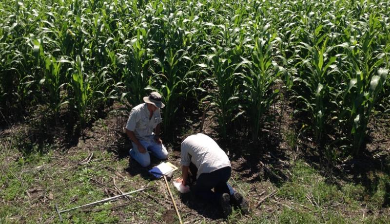 Realización de estudios para la identificación de limitantes en el suelo para el desarrollo del cultivo de sorgo azucarado. Foto: gentileza CAPP.
