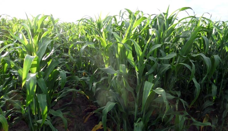 """Estado del cultivo de sorgo azucarado en el momento de inicio del """"Periodo de Gran Crecimiento"""", momento en el cual se determina el tamaño final de plantas. Foto: gentileza CAPP."""